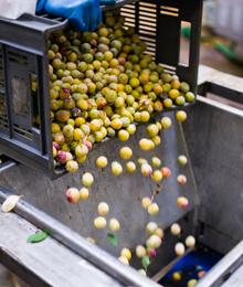 Purées de fruits