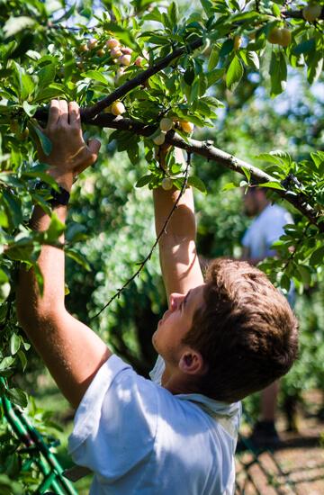 Travailleur saisonnier dans un verger de mirabelle - Vegafruits