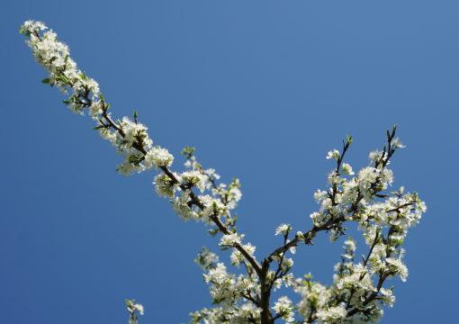 Nos vergers sont en fleurs !